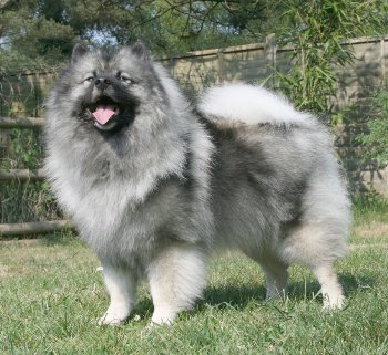 Keeshond Majic standing cropped (Wikimedia Commons)